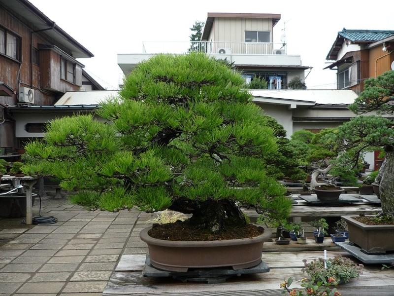 japanischer garten bonsai dorf tokyo. Black Bedroom Furniture Sets. Home Design Ideas