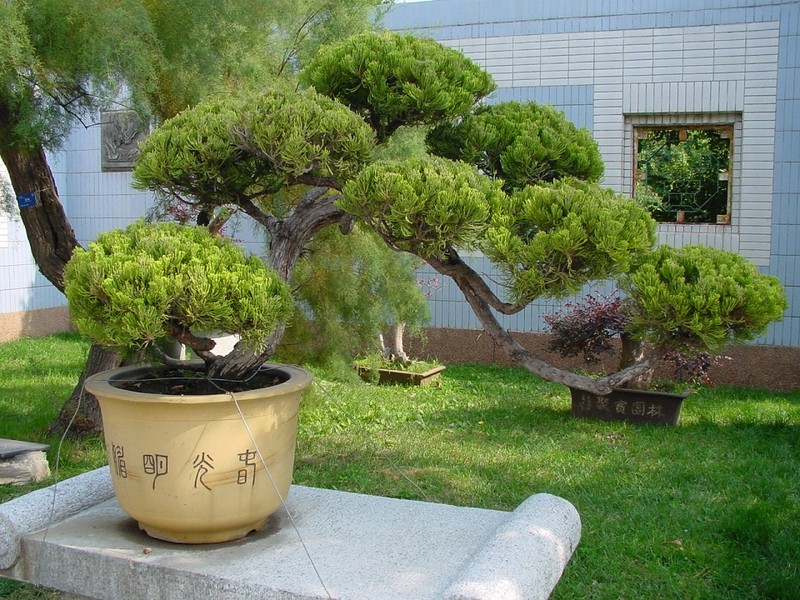 japanischer garten bonsai in china. Black Bedroom Furniture Sets. Home Design Ideas