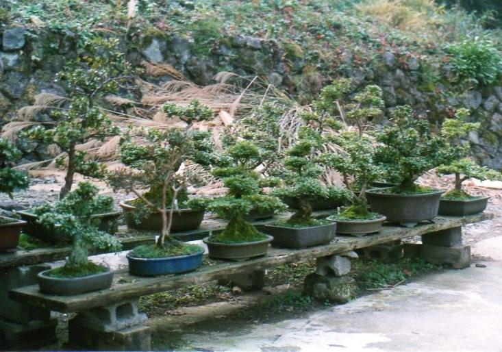 Japanischer Garten - Bonsai Privatsammler